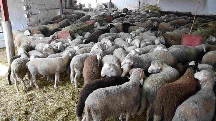 Corderos destinados al sacrificio